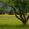 Apple Tree and Saffron Field,  The Animas Valley, Photograph.